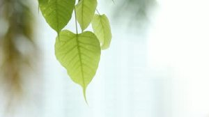 stock-footage-bodhi-leaves-flew-by-the-wind