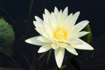 white-lotus